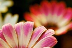 Gänseblümchenabendlicht Stockfotografie