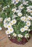 Gänseblümchenanlage im flowershop Stockfoto