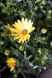 Gänseblümchenanlage im flowershop im Detail Lizenzfreie Stockfotografie