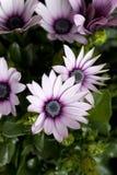 Gänseblümchenanlage im flowershop im Detail Stockfoto
