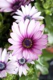 Gänseblümchenanlage im flowershop im Detail Stockbilder