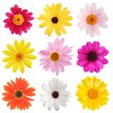 Gänseblümchenansammlung stockbilder