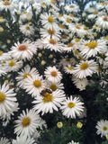 Gänseblümchenbienenblumen Lizenzfreies Stockfoto