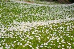 Gänseblümchenblume Stockbilder