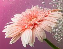 Gänseblümchenblume stockbild
