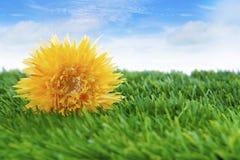 Gänseblümchenblume auf dem Gras lizenzfreie stockfotos