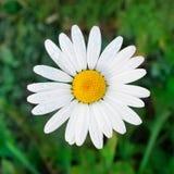 Gänseblümchenblume auf Naturhintergrund Stockfotos