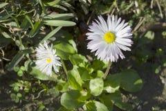 Gänseblümchenblume (Bellis perennis) Lizenzfreies Stockfoto