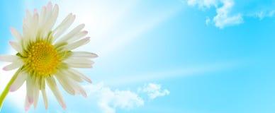 Gänseblümchenblume, Blumenauslegung-Frühlingsjahreszeit Stockfotos