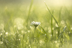 Gänseblümchenblume im Morgentau Lizenzfreie Stockfotografie