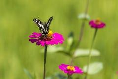 Gänseblümchenblume und -schmetterling Stockfotografie