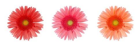 Gänseblümchenblumen stockfotografie