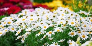 Gänseblümchenblumen Stockfoto