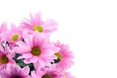 Gänseblümchenblumen Lizenzfreies Stockbild