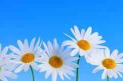 Gänseblümchenblumen auf blauem Hintergrund Stockbild