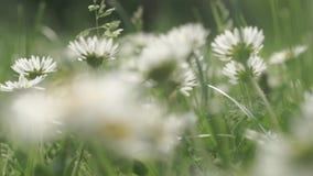Gänseblümchenblumen auf einem Gebiet stock footage