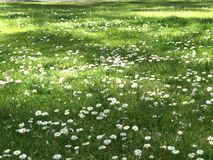 Gänseblümchenblumen auf grüner Wiese Stockbild