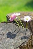 Gänseblümchenblumen auf Holz Stockfoto