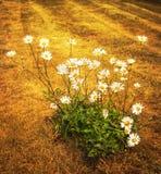 Gänseblümchenblumen auf trockenem Feld Stockbild