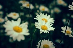 Gänseblümchenblumen auf unscharfem grünem Hintergrund Stockbild