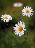 Gänseblümchenblumen in der Blüte Lizenzfreies Stockfoto