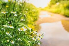 Gänseblümchenblumen durch einen Weg bei Sonnenuntergang Wiese voll des gelben Löwenzahns Entspannungsfrühjahrweg-Wegkonzept lizenzfreies stockbild