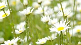 Gänseblümchenblumen in einer Wiese im Frühjahr stock video footage