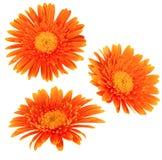 Gänseblümchenblumen getrennt Lizenzfreie Stockbilder
