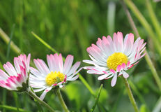 Gänseblümchenblumen im Garten Lizenzfreie Stockfotos