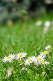 Gänseblümchenblumen im Grasfrühlingsgänseblümchen lizenzfreie stockbilder