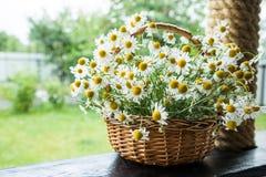 Gänseblümchenblumen im Korb Korb mit Kamille im Garten Lizenzfreie Stockbilder