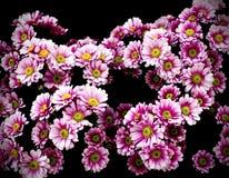 Gänseblümchenblumen lokalisiert auf Schwarzem Stockfoto