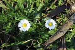 Gänseblümchenblumen in Spanien lizenzfreie stockfotos