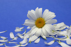 Gänseblümchenblumen und -blumenblätter lizenzfreie stockfotos