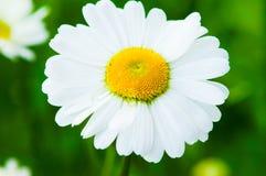 Gänseblümchenblumenblätter stockfotos
