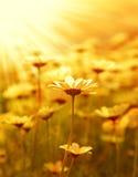 Gänseblümchenblumenfeld über Sonnenuntergang Stockfotografie