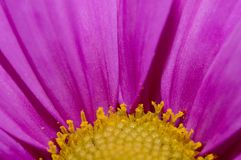 Gänseblümchenblumennahaufnahme Lizenzfreies Stockfoto