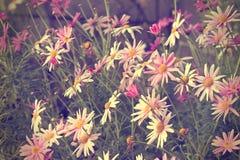 Gänseblümchenbusch-Blumenauszugshintergrund Stockbild
