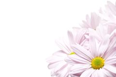 Gänseblümchenecke lizenzfreies stockfoto