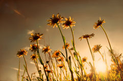 Gänseblümchenfeld auf Sonnenuntergang Lizenzfreie Stockfotos