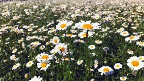 Gänseblümchenfeld an einem sonnigen Tag stock footage