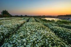 Gänseblümchenfeld am frühen Morgen Stockfotos