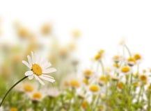 Gänseblümchenfeld, weißer Hintergrund lizenzfreies stockbild