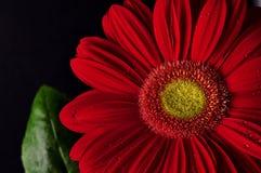 Gänseblümchengerbera-Blume Lizenzfreie Stockfotografie