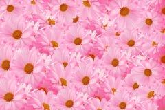 Gänseblümchenhintergrund stockfoto