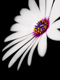 Gänseblümchenschönheit Stockbilder