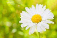 Gänseblümchensommerbild Stockfotografie