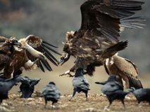 Gänsegeier Gyps fulvus und Cinereous Geier Aegypius monachus kämpfen Stockbild