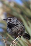 gärdsmyg för brunneicapelluskaktuscampylorhynchus fotografering för bildbyråer