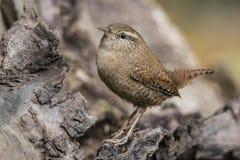Gärdsmyg grottmänniskagrottmänniskor, liten sångfågel arkivbilder